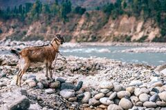 Goat by river Stock Photos