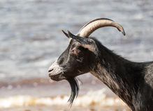 Goat on the river Bank. Royalty Free Stock Photos