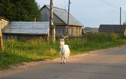 Goat on the road Royalty Free Stock Images