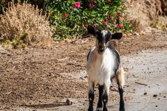 Goat in crete. Goat on road   in crete in sunny day Royalty Free Stock Images