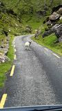 Goat on road in ireland. Impression of the roads to follow Stock Photography