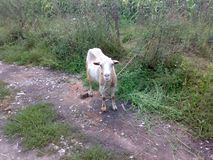 Goat on the road royalty free stock photography