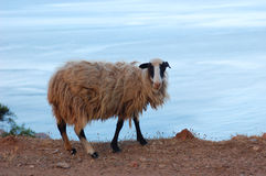Goat in road to the Blue Lagoon. View from Road to the Blue Lagoon in Crete Stock Photo
