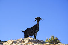 Goat on Rock. Black goat standing on a rocky mountaun Stock Photo