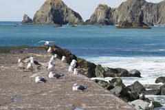 Goat Rock Beach is located between Goat Rock Point and the Russian River along the Sonoma County shore near the town of Jenner. The Russian River, with its Stock Photography