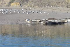 Goat Rock Beach -  northwestern Sonoma County, California, Seals  are on the mouth of the Russian River, and the southern end of t. Goat Rock Beach Stock Photo