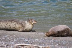 Goat Rock Beach -  northwestern Sonoma County, California. Seals are on the mouth of the Russian River. Goat Rock Beach - Sonoma County, California. Each spring Stock Photo