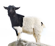 Goat on rock isolated. On white stock photos