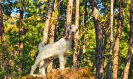 Goat on the rock Royalty Free Stock Photography