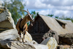 Goat on the rocks Stock Images