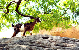 Goat on Rocks. A common goat climbing rocks Royalty Free Stock Images