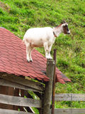 Goat on the roof Royalty Free Stock Images