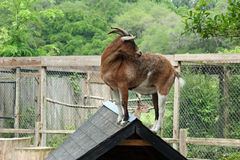 Goat on Roof Top. A goat on a roof top Stock Photo