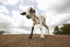 Goat on roof in village near Tsavo National Park, Kenya, Africa Royalty Free Stock Photography