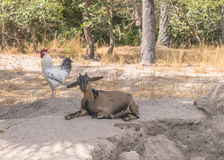 Goat and rooster Royalty Free Stock Photography