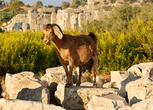 Goat on ruins in ancient Lycian city Patara. Turkey Stock Image