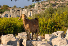 Goat on ruins in ancient Lycian city Patara. Turkey Royalty Free Stock Image