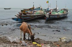 A beach covered by plastic litter in the Petite Côte of Senegal, Western Africa. A goat rummages for food amongst the plastic litter in a beach on Senegal`s stock photo