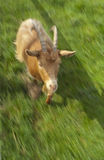 Goat ... Running. A goat in a field running straight at the camera stock photography