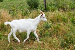 Goat runs. Royalty Free Stock Image