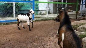 Goat's Battlefield. stock video