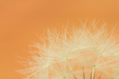 Goat's beard seeds  with water drops Royalty Free Stock Photo