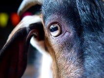 Goat`s eye. Close-up shot of Goat on it`s eye Royalty Free Stock Images