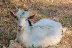 Goat's face stock photo