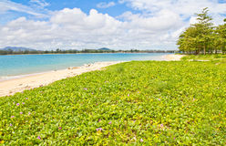 Goat's Foot Creeper, Beach Morning Glory.(Ipomoea pes-caprae ( L. ) R.br.) tree on Coast of Andaman Sea in the Indian Ocean at Phuket Thailand stock photography