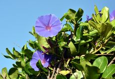 Seaside Morning Glory flowers stock image