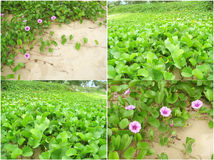 Goat& x27;s Foot creeper. Mixed photos of beach plant flower. The Goat& x27;s Foot creeper, Beach Morning Glory or Ipomoea & x28; Ipomoea pes-caprae & x29 Royalty Free Stock Images