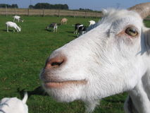 Goat's head. White goats in a field - goat's head Royalty Free Stock Image