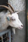Goat's head Stock Image