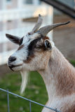 Goat's Head Royalty Free Stock Photography
