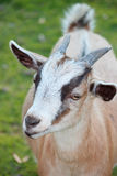 Goat's Head Royalty Free Stock Photos