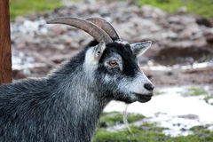 Goat's Head Royalty Free Stock Photo