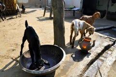 Goat. & x27;s Little Children Are Enjoying Stock Photo