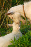 Goat's love. Goat lap up his child in the sunset Stock Image