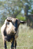 Goat's portrait on a green sunny meadow background Royalty Free Stock Photo