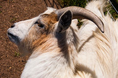 Goat scratching his own back with horns Royalty Free Stock Image