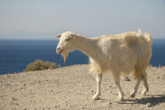 Goat and sea Stock Photos