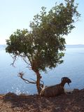 Goat sheltering under an olive tree royalty free stock image