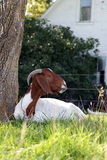 Goat in the Shade Stock Images