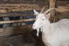 Goat in a shed Royalty Free Stock Photo