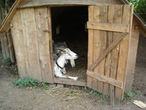 Goat in the shed Stock Photos