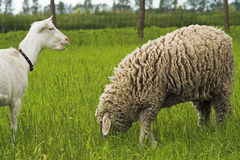 Goat and sheep Stock Photo