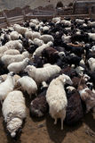 Goat and sheep Stock Images