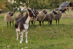 Goat and sheep Royalty Free Stock Images