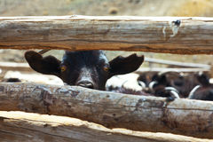 Goat and sheep. Grazing domestic royalty free stock photography