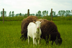 Goat with sheep Stock Photos